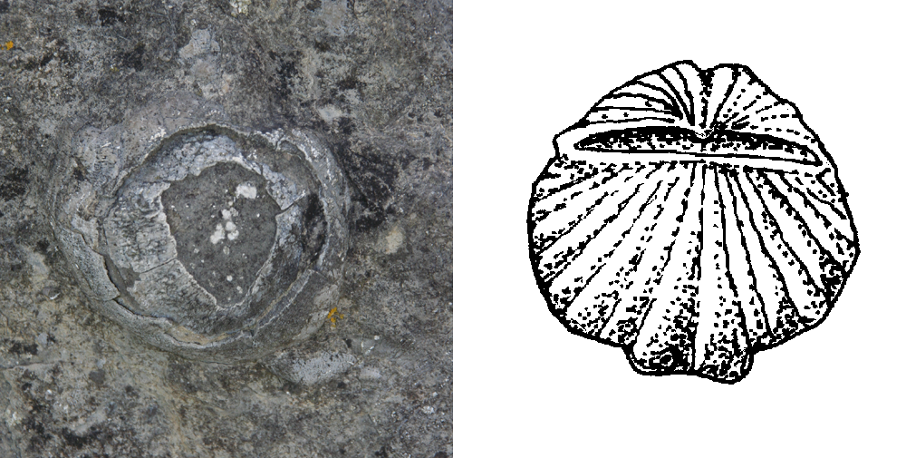 brachiopod_photo_and_line